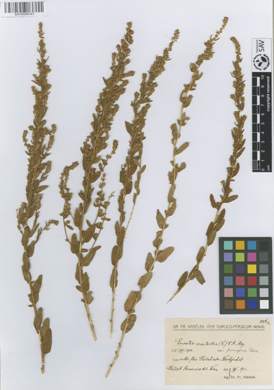Eurotia ceratoides (L.) C.A. Mey. var. ferruginea Boiss.