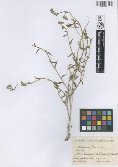 Heliotropium persicum Lam.