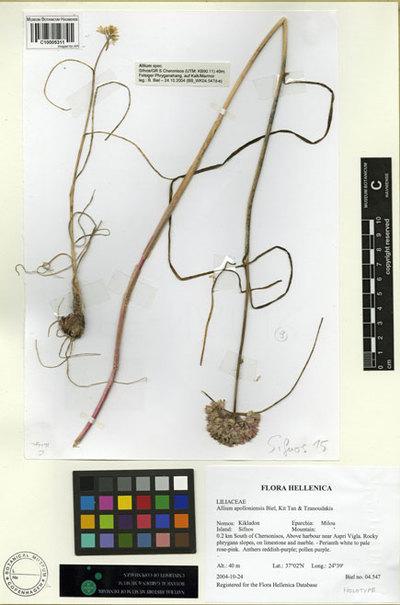 Allium apolloniensis Biel, Kit Tan & Tzanoudakis