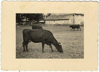 Rembates pagasts. Latvijas brūnās šķirnes govis Ogresziedu zemnieku saimniecībā