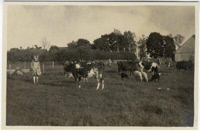 Rembates pagasts. Ogresziedu zemnieku saimniecības liellopi un aitas ganībās
