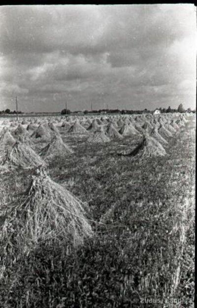 Rudzu statiņi kolhoza laukā Iecavas apkārtnē
