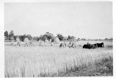 """Salas pagasts. Birži. Rudzu pļauja saimniecībā """" Geidāni"""""""
