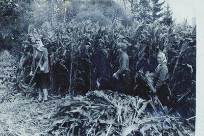 Kukurūzas pļaušana