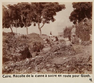 Fotografi. Sockerrörsskörd på vägen till Giza. Kairo, Egypten.