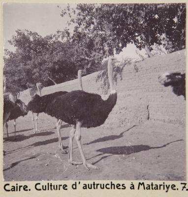 Fotografi. Strutsuppfödning i Matariya. Kairo, Egypten.