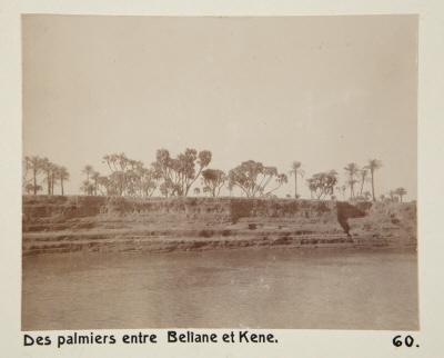 Fotografi. Palmer mellan Beliane (El-Balyana?) och Qena, Egypten.