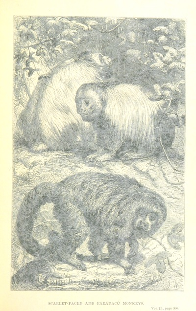 Image from page 325 of The Naturalist on the River Amazons. A record of adventures, habits of animals, sketches of Brazilian and Indian life, and aspects of nature under the Equator, during eleven years of travel