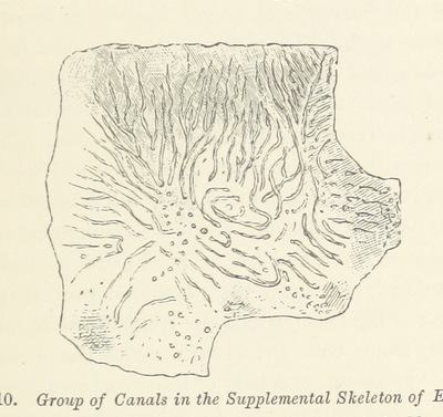 Image from page 65 of Life's Dawn on Earth: being the history of the oldest known fossil remains, and their relations to geological time and to the development of the animal kingdom ... Second thousand