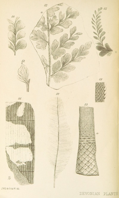 Image from page 58 of On the Flora of the Devonian Period in North-Eastern America. (From the Quarterly Journal of the Geological Society.)