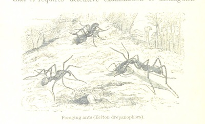 Image from page 376 of The Naturalist on the River Amazons. A record of adventures, habits of animals, sketches of Brazilian and Indian life, and aspects of nature under the Equator, during eleven years of travel