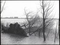 Een ontwortelde boom bij de dijk langs de Hollandse IJssel bij Moordrecht, 1 februari 1953