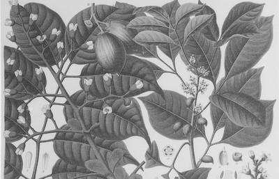 Elemibaum (Canarium commune und Icica-Icicariba), zu Firnis, farbig