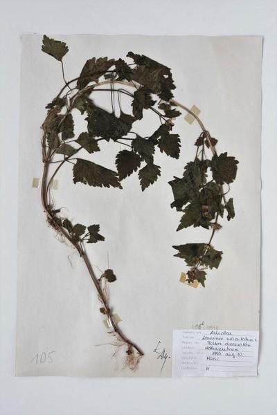 Lamium maculatum L