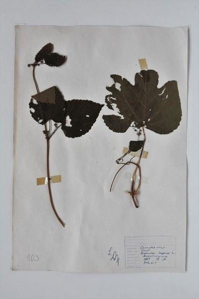 Humulus lupulus L.