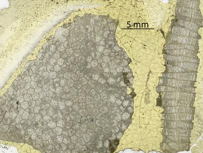Paleofavosites hystrix Sokolov, 1951