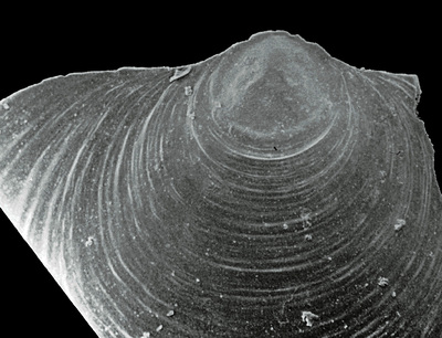 Spondylotreta cf. parva Wright, 1963