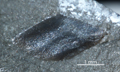 Dialipina markae Schultze, 1977