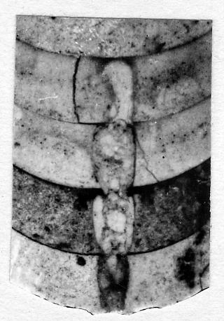 Dawsonoceras largeum Stumbur