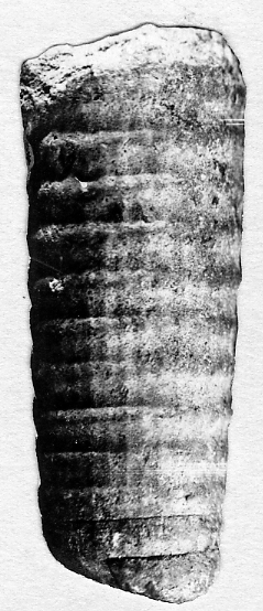 Spyroceras paulum Stumbur