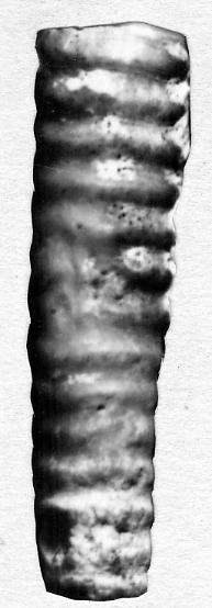 Dawsonoceras infernum Stumbur