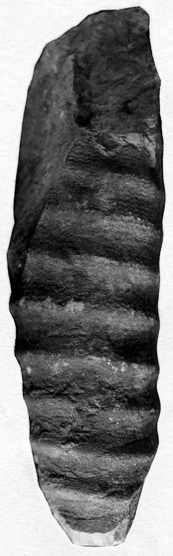 Spyroceras textum-arenaceum (Roemer)