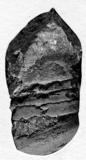 Orthoceras hiiuense Stumbur