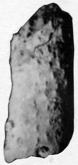 Ormoceras sp.