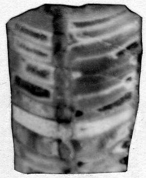 Sanctoceras sp.