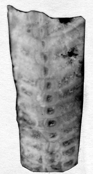 Ormoceras inquetum Stumbur