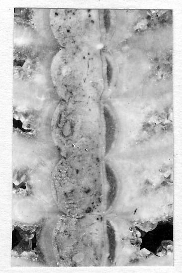 Ormoceras tersum Stumbur