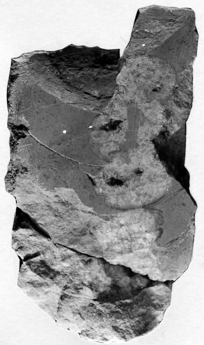 Nybyoceras bekkeri Troedsson, 1926