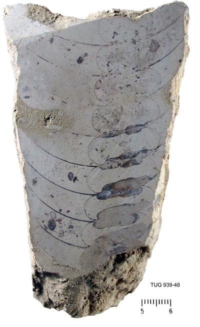 Nybyoceras intermedia Teichert, 1930