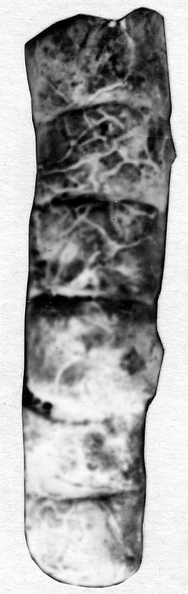 Orthoceras bifoveatum Noetling, 1884