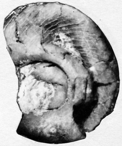 Schroederoceras dominum Stumbur