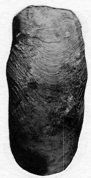 Schroederoceras hyatti (Strand, 1934)
