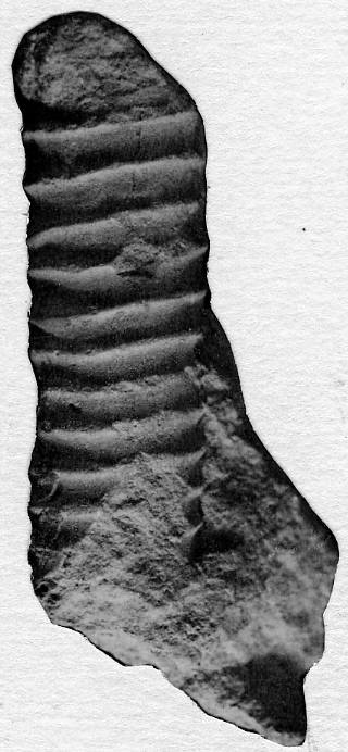 Spyroceras inhorum Stumbur, 1955