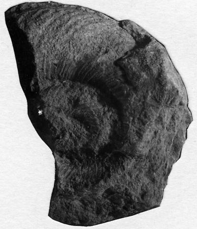 Schroederoceras balaschovi Stumbur, 1956