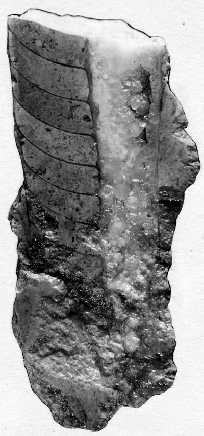 Endoceras iucundum Stumbur