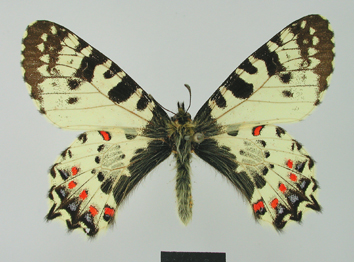 Zerynthia caucasica (Lederer, 1864)