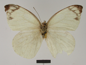 Appias indra (Moore, 1858)