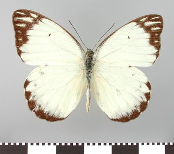 Belenois subeida (Felder and Felder, 1865)
