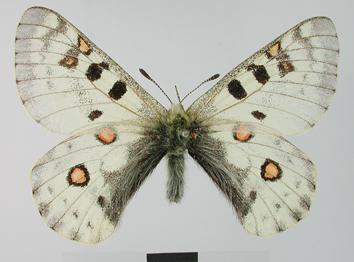 Parnassius actius (Eversmann, 1843)