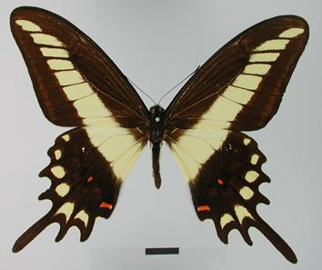 Papilio lamarchei Staudinger, 1892