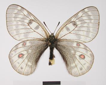Parnassius acdestis Grum-Grshimailo, 1891