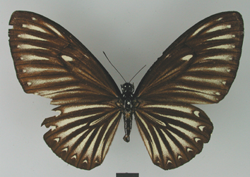 Chilasa paradoxa (Zincken, 1831)