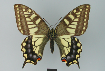 Papilio machaon Linnaeus, 1758