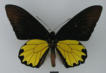 Troides andromache (Staudinger, 1892)