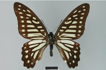 Graphium leechi (Rothschild, 1895)