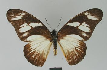 Graphium almansor (Honrath, 1884)
